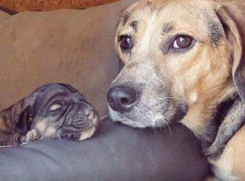 Beagle Mama